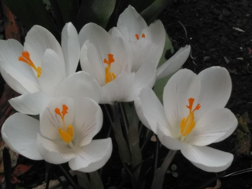 幻の花壇に咲くクロッカス